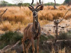 Koudou-africain-Alain-Leroi-95e