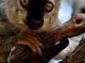 Doose Rita -  Petit lémurien curieux - classé 52ème