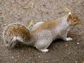 écureuil par Francine Vicaire Costenoble