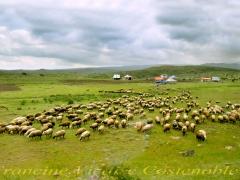 """Portfolio - Francine Vicaire Costenoble - """"Arménie moutons"""" - 2018"""