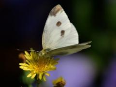 "Portfolio - Francine Vicaire Costenoble - ""papillon blanc"" - 2018"