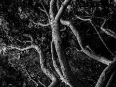Série Enlacements conifère - Eric Dubois-Geoffroy